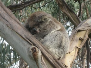 Koala in the wild - asleep!